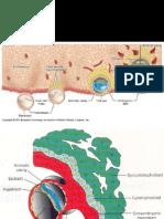 embriologie2
