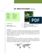 04 Cupressus macrocarpa