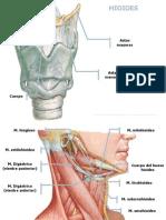 Cuello_osteología_músculos y Fascias (Conflicto de Codificación Unicode)