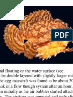 Sargassumfish Reproduction