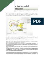 17-Embriología Aparato Genital Femenino y Masculino