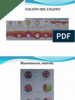 imagenes embriologia