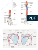 Muscle Attachments of Upper Limb