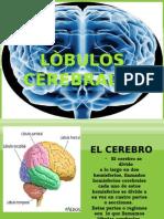 lobuloscerebrales