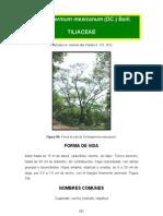 Trichospermum Mexicanum