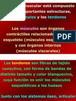 Musculos Sc