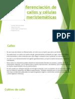 Diferenciación de Callos y Células Meristemáticas