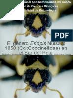 Eriopis (Coleoptera