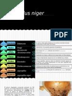 Aspergillus Niger