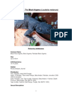 Care Sheet - Black Agama (Laudakia melanura)