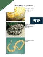 Care Sheet - Burmese Python