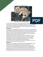 Care Sheet - Helmeted Gecko (Tarentola chazaliae)