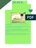El Pug o Carlino Es Una Raza de Perro Con Morro Achatado y Cuerpo Pequeño