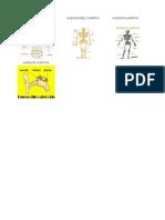Imágenes Del Sistema Óseo y Cartilaginoso Huesos Cortos y Largos y Más