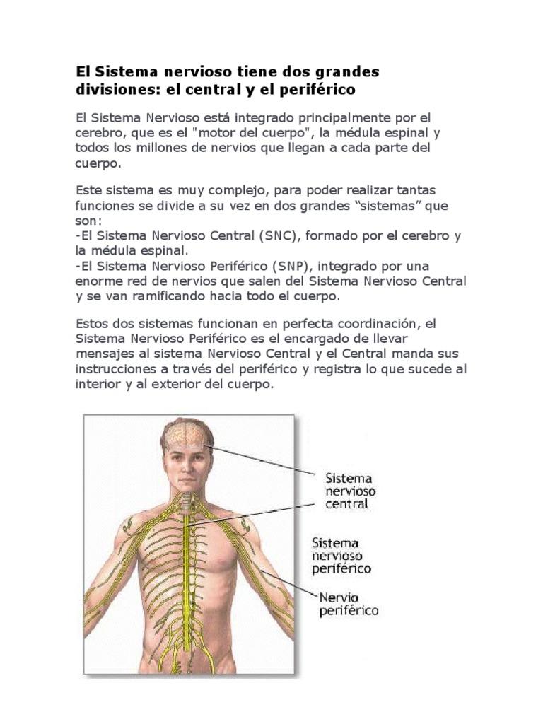 El Sistema Nervioso Tiene Dos Grandes Divisiones