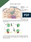 ReR, Rel, Golgi e Vescicole