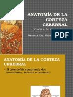 Anatomia de La Corteza Cerebral