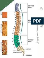 fiziologia sistemului respirator
