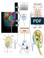 Mapa mental de la estructura del Cerebro