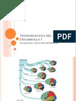 Neurobiología del Desarrollo I.pdf