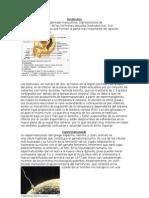Aparato Reproductor y Sus Partes (Prostata, Testiculos, Conducto Deferente)