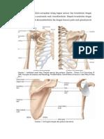 Anatomi Sendi Bahu