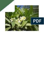 Frangipani Flowers in Greece