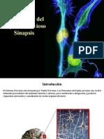 Transmisin Impulso Nervioso Sinapsis