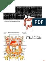 Intestino grueso Anatomía