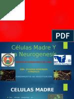 Células Madre Y La Neurogenesís