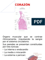 aparato circulatorio; histologia
