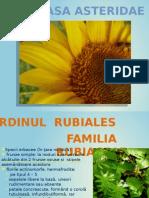 Asteridae Agro 2