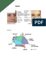 Anatomi Nasal