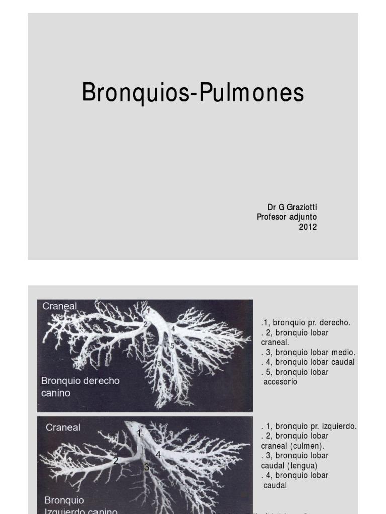 Bronquios Pulmones