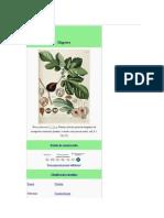 Ficus Carica- Higuera