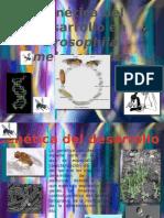 Genetica Del Desarrollo de Drosophila