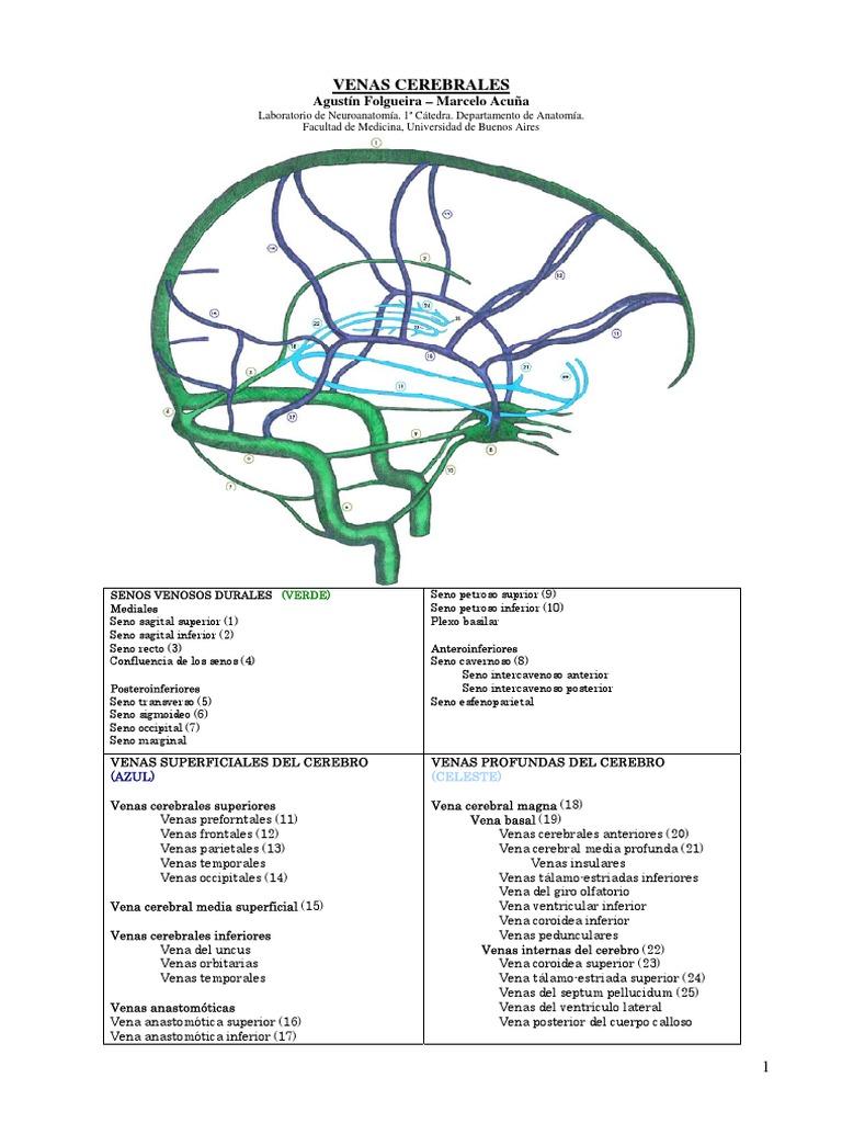 Senos venosos cerebrales Buscar con Google Medicina
