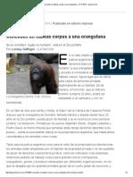Conceden Un Hábeas Corpus a Una Orangutana - 21.12.2014 - Lanacion