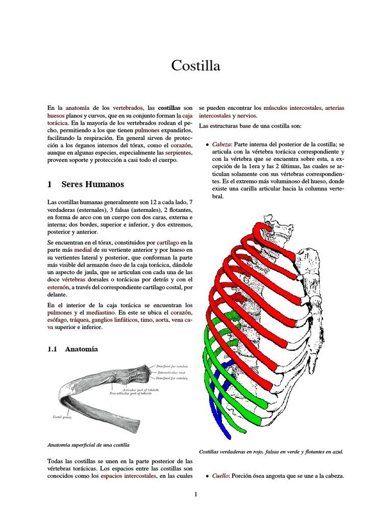 Único Flotante Anatomía Costillas Cresta - Imágenes de Anatomía ...