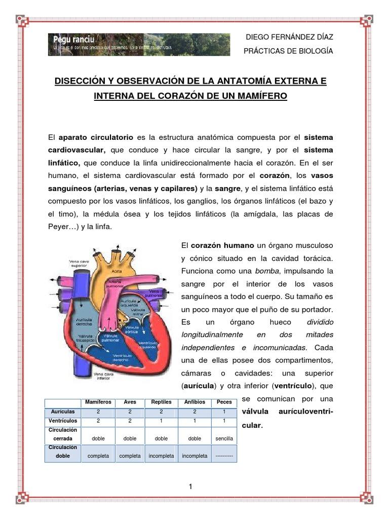 Práctica: Observación y disección de corazón de mamífero