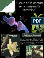 Fisiologia, Presentación, Efecto de la cocaína en la transmisión sinpatica.