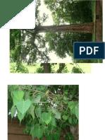 Marathi Tree