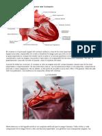 El Corazón Es El Principal Órgano Del Sistema Cardiaco y Uno de Los Más Importantes Del Ser Humano