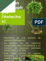 División Filicinophyta