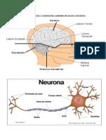 Guía Unidad 1 Sub. 1 Partes Del Cerebro y Neurona 3º Medio Común