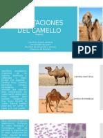 Adaptaciones Del Camello