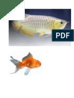 Gambar Ikan Aman