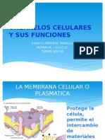 Organelos Celulares y Sus Funciones.