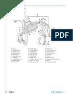 Equine Skeleton