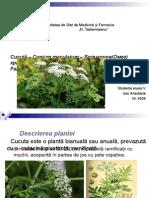 Cututa Conium maculatum